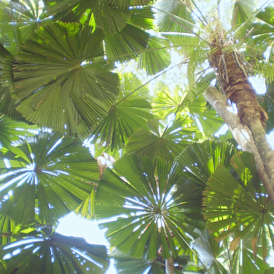 daintree_palms1