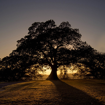 Moreton Bay Fig at sunrise.